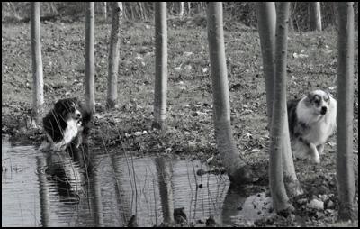Australian Shepherd Puppies - Charjan Australian Shepherds