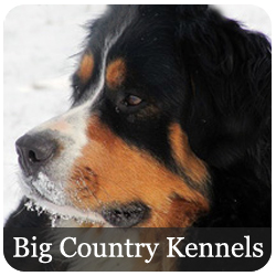 Big Country Kennels - Bernese Mountain Dogs