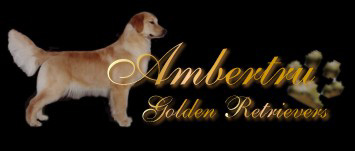 Ambertru Golden Retrievers Perm Reg'd