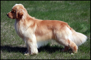 Canza Golden Retrievers