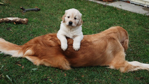 Conquerer Reg'd Golden Retrievers