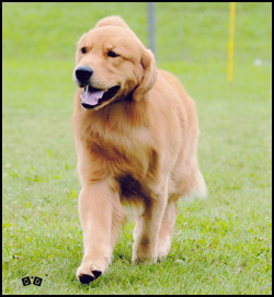 Goldpaw Reg'd Golden Retrievers
