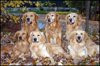 Jengar Golden Retrievers