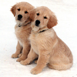 Joyso Golden Retrievers