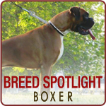 Breed Spotlight: Meet the Boxer