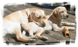 Copperstone Reg'd Labrador Retrievers