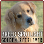 Breed Spotlight: Meet the Golden Retriever