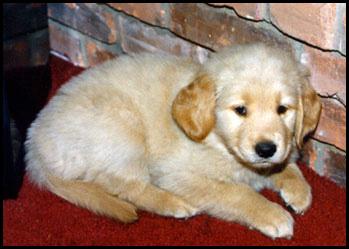 Whiskey - 8 weeks old - Golden Retriever Puppy