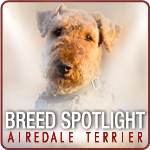 Breed Spotlight - Airedale Terrier