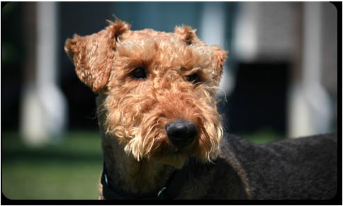 Airedale Terrier - Oscar