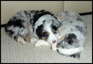 Australian Shepherd Puppies - Aleshanee Australian Shepherds