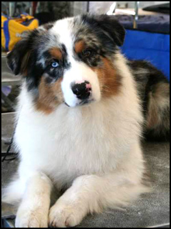 Dreamstorie Australian Shepherds