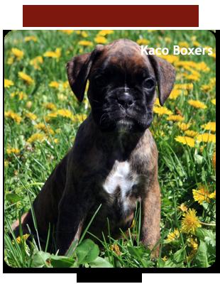 Boxer Breeders