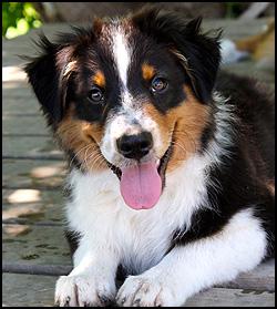 Australian Shepherd Puppies - QT Aussies
