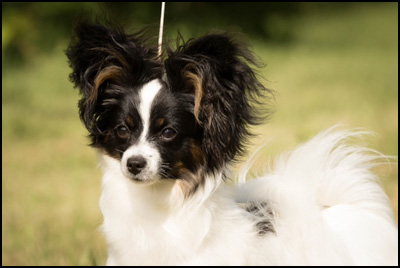 Papillon Breeders - Papillons of Riesa