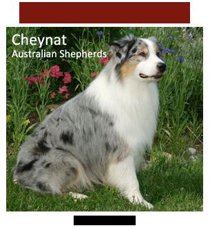 Australian Shepherd Puppies - Featured Breeder - Cheynat
