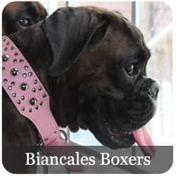 Featured Breeds Boxer