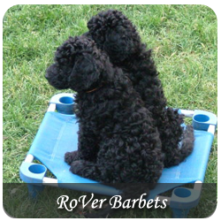 Featured Breeds - Rover Barbets