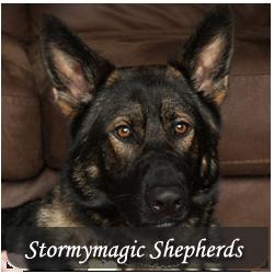 Featured Breeds - German Shepherd
