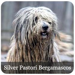 Featured Breeds - Silverpastori Bergamascos