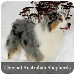 Featured Breeds - Cheynat Australian Shepherds