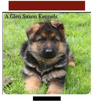 German Shepherd Dog Breeders - Canada's Guide to Dogs
