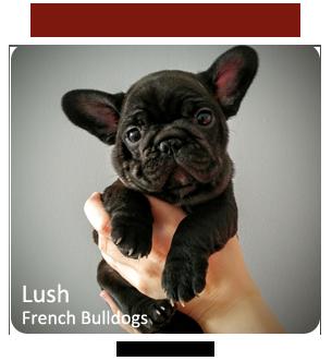 French Bulldog Breeder - Lush Bulldogs