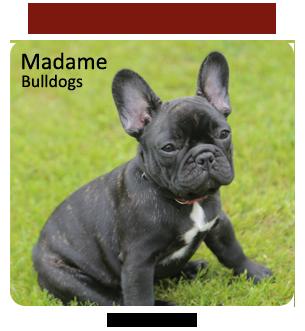 French Bulldog Breeder - Madame