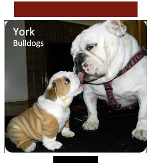 Bulldog Breeders - Canada's Guide to Dogs