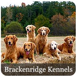 Featured Breeds - Golden Retriever
