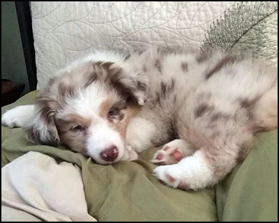 Gracerok Australian Shepherds