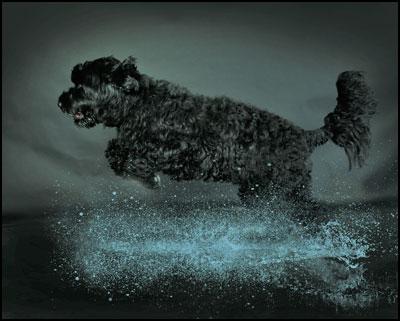 Fenaghhausen Portuguese Water Dogs