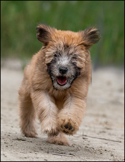 Wheaten Terrier Breeders - Garshangan Perm Reg'd