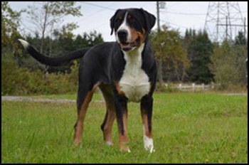 Greater Swiss Mountain Dog Breeders Canada S Guide To Dogs