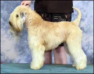 Wheaten Terrier Breeders - Woodbend Kennels