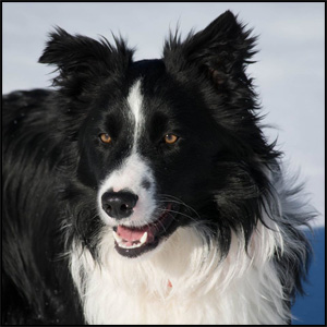 Border Collie - Landing Trail Stock Dogs