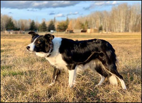 Border Collie - Landing Trail Stock Dogs