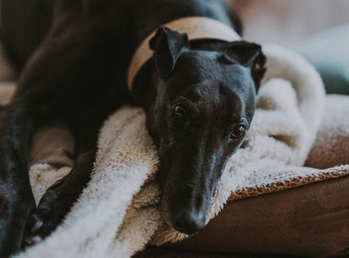 Greyhound Rescue