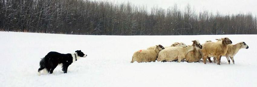 Herding - Landing Trail Stock Dogs
